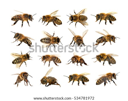 apis mellifera the life of the western honey bee essay The first two weeks of their lives is spent as house bees, doing tasks in the hive   but the western honey bee, apis mellifera, is the most common bee kept for.