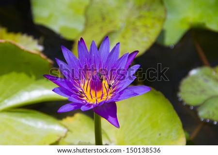 Group of bee swarming purple lotus - stock photo