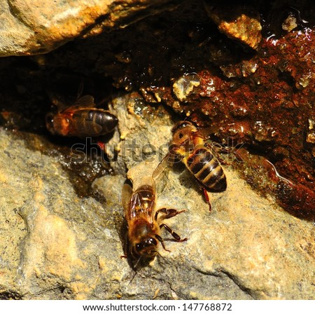 Group of bees apis mellifera between the cracks of the wet rocks drinking mountain spring water
