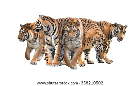 group of bengal tiger isolated on white background - stock photo