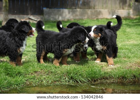 Group of Bernese Mountain Dog puppies in the garden