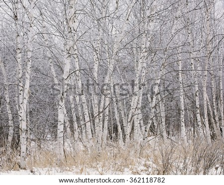 Group of birch trees covered in winters hoarfrost.  Winter in Wisconsin. - stock photo