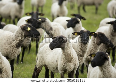 stock-photo-group-of-black-headed-sheep-