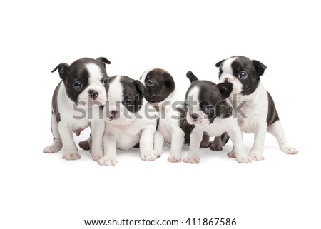 group of boston terrier puppies on white background isolated - stock photo