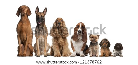 Group of brown dogs sitting, from taller to smaller against white background - stock photo