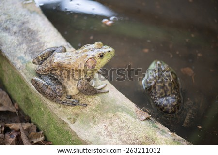 Group of bullfrogs in the swamp - stock photo
