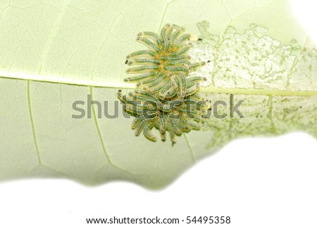 group of butterfly caterpillar bug on leaf isolated - stock photo
