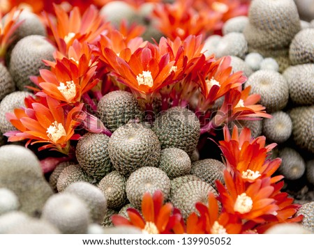 Group of cactuses with red flowers - stock photo