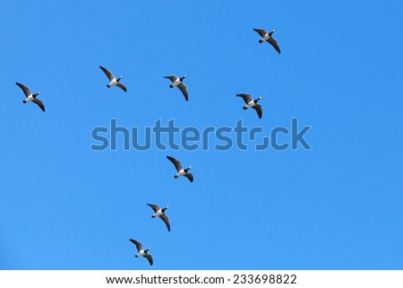 Group of Canadian geese flying in V shaped flock on blue sky background - stock photo