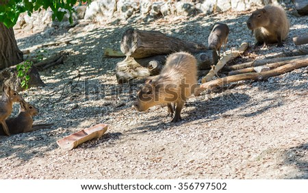 group of capibara and patagonian mara. biggest rodent on earth - stock photo