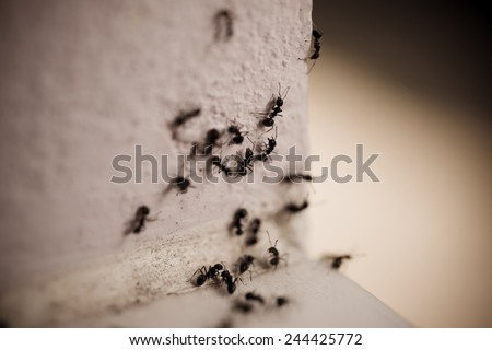 Group of carpenter ants on the wall