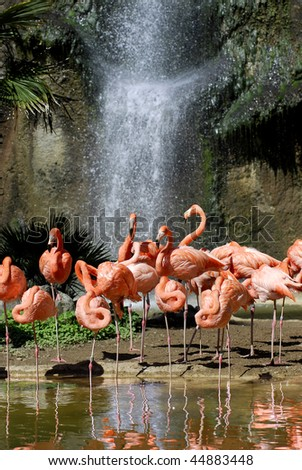 Group of Carribean flamingos (Phoenicopterus ruber) with a waterfall in the background