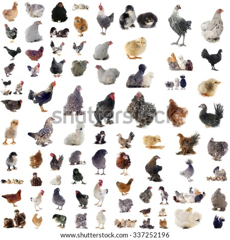 group of chickens in front of white background