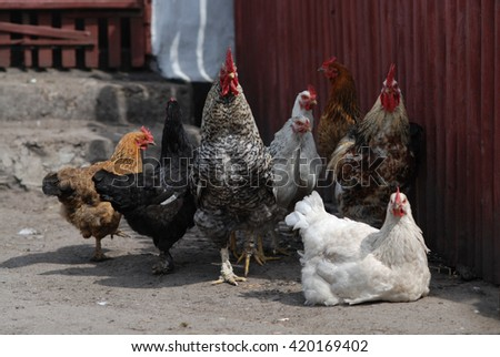 Group of chickens near coop - stock photo