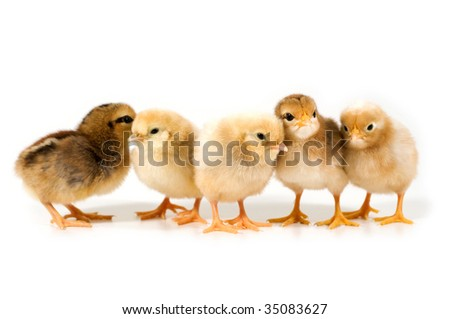 group of chicks on white background - stock photo