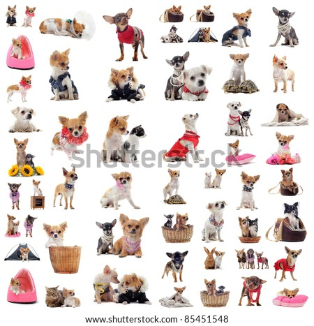 group of chihuahua in situation in front of white background - stock photo