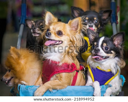 Group of chihuahua sitting in a wheelchair outside the house to hang out and enjoy.