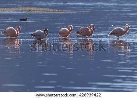 Group of Chilean Flamingos (Phoenicopterus chilensis) at dawn on Lake Chungara in Lauca National Park, northern Chile.  - stock photo
