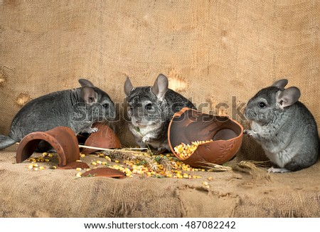 Group  of chinchillas in the barn on the background of a broken jug with corn grains. A series of images.