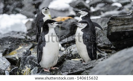 Group of Chinstrap penguins on the rock stay in a circle - stock photo