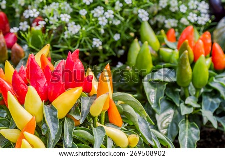 Group of colorful ornamental peppers decorated in flower garden - stock photo