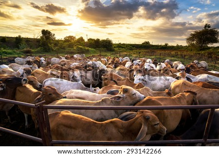 group of cow in cowshed with beautiful sunset scene - stock photo