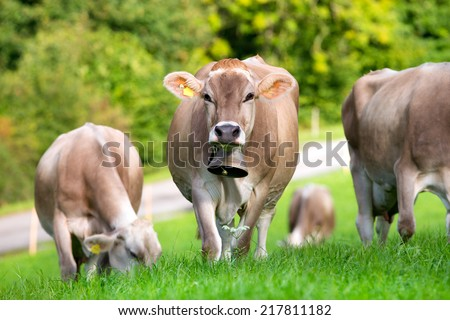 Group of cows in field - stock photo