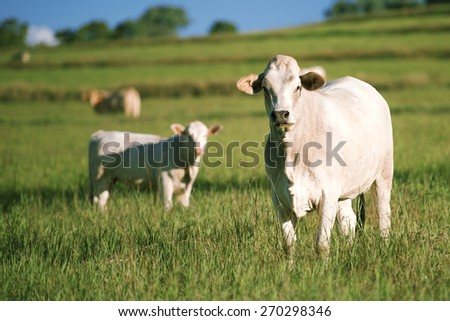 Group of cows including a baby cow in the outback. - stock photo