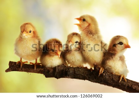 Group of cute chicks - stock photo