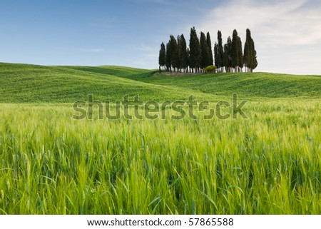 Group of cypresses, Tuscany, Italy - stock photo