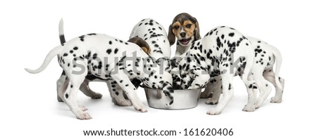 Group of Dalmatian and Beagle puppies eating all together, isolated on white - stock photo