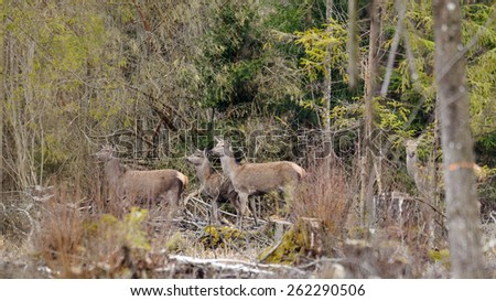 Group of Deers missing forest at cutting area. - stock photo
