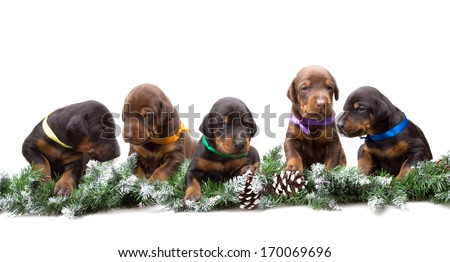 Group of dobermann puppies lying on fur tree isolated on white background - stock photo