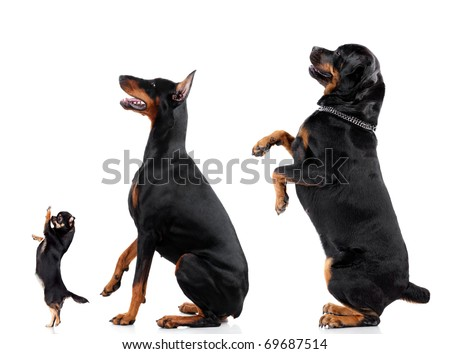 Group of dogs (Chihuahua, Doberman, Rottweiler) isolated on white background, studio shot. - stock photo