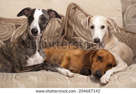 group of dogs, dachshund and whippet - stock photo
