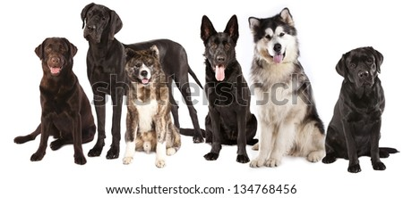 group of dogs in front of a white background - stock photo