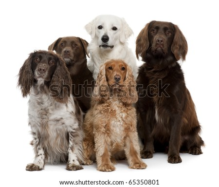 Group of dogs, Labrador Retriever, American Cocker Spaniel, English Cocker Spaniel and Kuvask, in front of white background - stock photo