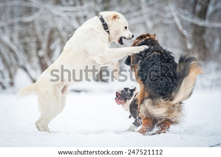 Group of dogs playing in winter - stock photo