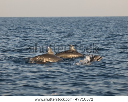 Group of dolphins in the sea - stock photo