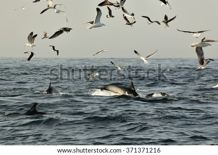 Group of dolphins, swimming in the ocean  and hunting for fish. The jumping dolphins comes up from water. The Long-beaked common dolphin (scientific name: Delphinus capensis) swim in atlantic ocean - stock photo