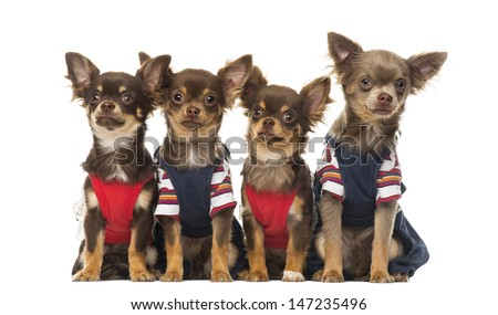 Group of dressed up Chihuahuas puppies sitting, isolated on white