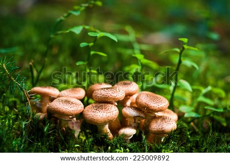 Group of edible wild mushrooms - honey agaric. Family of mushrooms. Fairy forest, the soft moss. Ukrainian Carpathians - stock photo