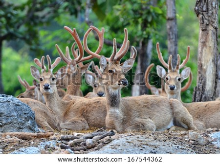 group of eld's deer resting in the forest - stock photo