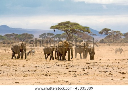 Group of elephants, Amboseli, Kenya. - stock photo