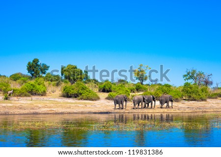 Group of elephants walking along a river - stock photo