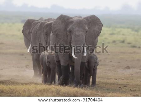 Group of elephants with babies traveling toward camera - stock photo