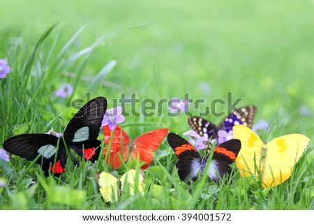 Group of Exotic Colorful Butterflies bordering green grass and spring wild violet flower background.