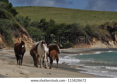 Group of feral horses on a beach on the island of Vieques in Puerto Rico - stock photo