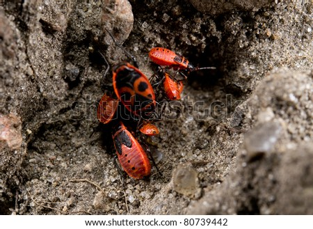 group of firebugs