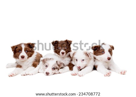 group of five border collie puppy dogs in front of a white background - stock photo